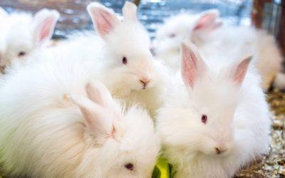 Angora et mode responsable : une fibre de luxe au prix du bien-être animal